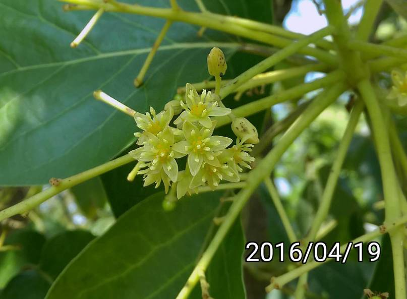 酪梨的花 flowers of avocado, Persea americana